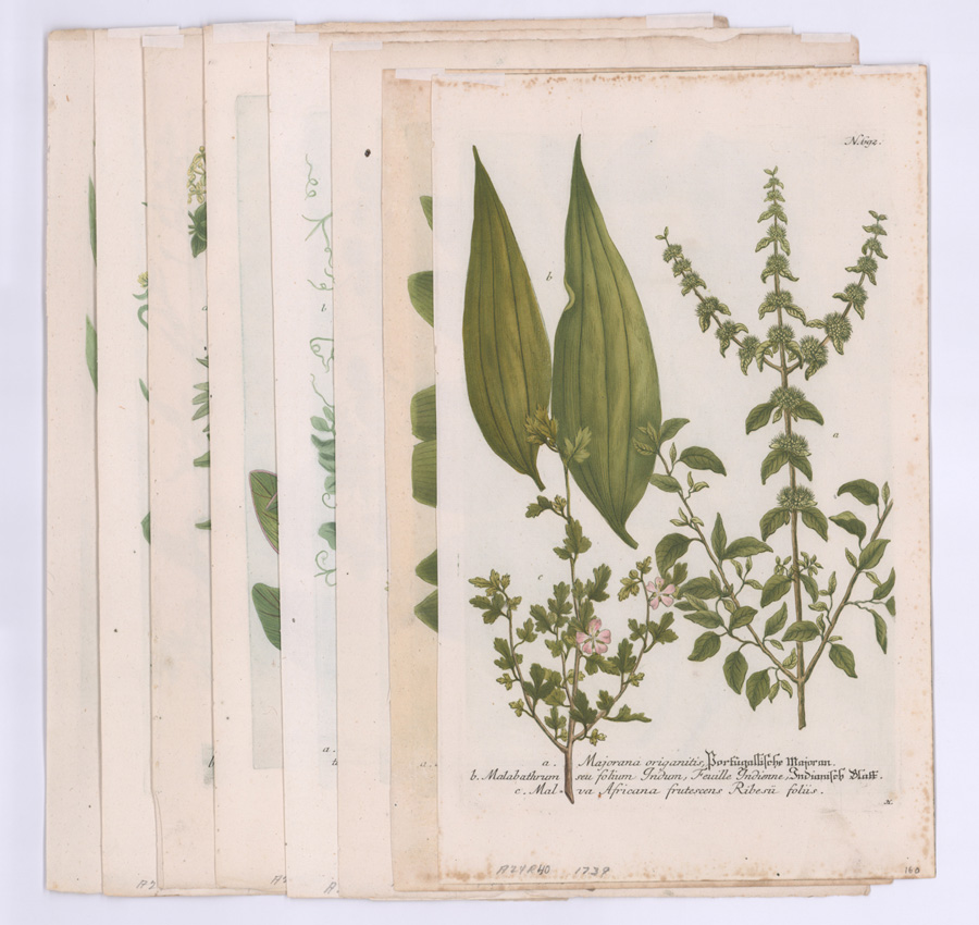 Eight Ca.1739-48 Botanical Engravings by Weinmann