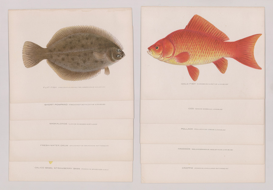 Ten 1856-1937 Fish Prints by Denton