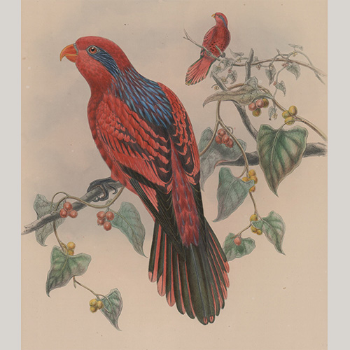 Antique Bird Print by Hart and Walter